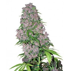 Purple Bud fra White label Feminiseret