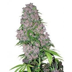 Purple Bud fra White label Feminiseret