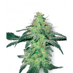 WHITE SKUNK fra White label Feminiseret