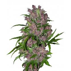 Auto Purple bud