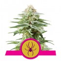 White Widow 5 stk. Feminiest