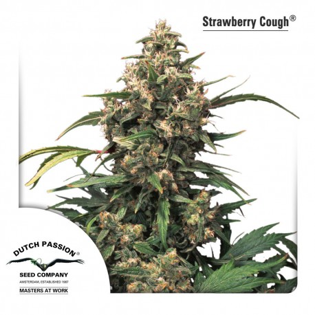 Strawberry Cough 3 stk. fra Dutch Passion