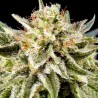 Auto White Russian 3 stk.