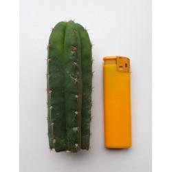 PERUVIAN TORCH (ECHINOPSIS PERUVIANA) 10-11 cm.